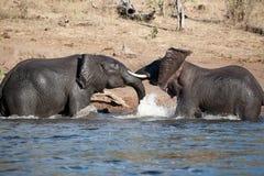 Ο ελέφαντας παίζει Στοκ Εικόνες