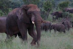 Ο ελέφαντας στο εθνικό πάρκο Hwage, Ζιμπάμπουε, ελέφαντας, χαυλιόδοντες, μάτι ελεφάντων ` s κατοικεί Στοκ Φωτογραφία