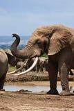 ο ελέφαντας ταύρων μεγάλος πρέπει Στοκ φωτογραφία με δικαίωμα ελεύθερης χρήσης