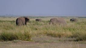 Ο ελέφαντας του Bull χαράζει άλλου μετά από μια πάλη για ένα θηλυκό κατά τη διάρκεια της περιόδου αναπαραγωγής απόθεμα βίντεο