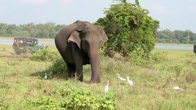 Ο ελέφαντας τρώει τη χλόη με τους τσικνιάδες γύρω για τα ζωύφια καθώς το τζιπ περνά πίσω απόθεμα βίντεο