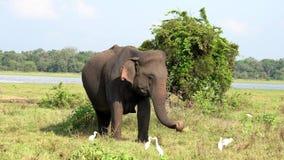 Ο ελέφαντας τρώει τη χλόη με τους τσικνιάδες γύρω για τα ζωύφια φιλμ μικρού μήκους