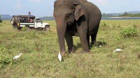 Ο ελέφαντας τρώει τη χλόη με τους τσικνιάδες καθώς τα τζιπ περνούν πίσω - τριών τετάρτων άποψη απόθεμα βίντεο
