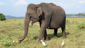 Ο ελέφαντας τρώει τη χλόη με τους τσικνιάδες - πλάγια όψη απόθεμα βίντεο