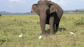 Ο ελέφαντας τρώει τη χλόη με τους τσικνιάδες - τριών τετάρτων άποψη απόθεμα βίντεο