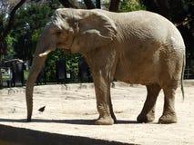 Ο ελέφαντας στοκ εικόνα