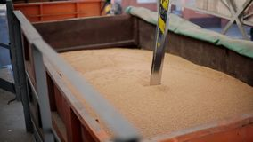 Ο ελεγκτής ελέγχων βυθίζει στο ρυμουλκό φορτηγών για να συλλέξει το σίτο για την ποιοτική ανάλυση Αυτόματο σύστημα ελέγχου, δοκιμ απόθεμα βίντεο