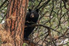 Ο ενήλικος Μαύρος αντέχει σε ένα δέντρο στοκ εικόνες