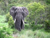 Ο ενήλικος αρσενικός ελέφαντας είναι στη κάμερα Στοκ φωτογραφία με δικαίωμα ελεύθερης χρήσης
