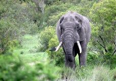 Ο ενήλικος αρσενικός ελέφαντας Στοκ εικόνες με δικαίωμα ελεύθερης χρήσης