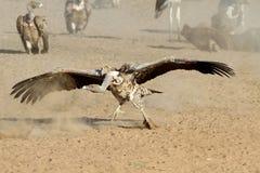 Ο ενήλικος γύπας griffon Στοκ Εικόνες