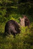 Ο ενήλικος θηλυκός Μαύρος αντέχει Ursus αμερικανικό και Cub τη χορτονομή Στοκ εικόνα με δικαίωμα ελεύθερης χρήσης
