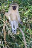Ο ενήλικος πίθηκος Vervet Στοκ φωτογραφία με δικαίωμα ελεύθερης χρήσης