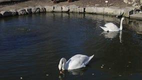 Ο ενιαίος άσπρος κύκνος κολυμπά στο σκοτεινό νερό στη λίμνη φιλμ μικρού μήκους