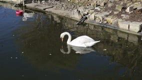 Ο ενιαίος άσπρος κύκνος κολυμπά στο σκοτεινό νερό στη λίμνη απόθεμα βίντεο