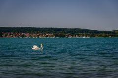 Ο ενιαίος Κύκνος στο constance λιμνών μπροστά από την πράσινη ακτή στοκ εικόνα με δικαίωμα ελεύθερης χρήσης