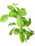 Νέος πράσινος νεαρός βλαστός του Apple-δέντρου Στοκ Εικόνες
