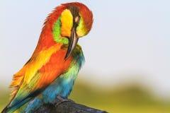 Ο εξωτικός σχηματίζοντας αψίδα λαιμός πουλιών καθαρίζει τα χρωματισμένα φτερά στοκ εικόνα με δικαίωμα ελεύθερης χρήσης
