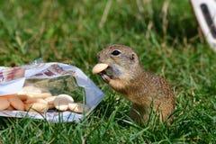 Ο επίγειος σκίουρος συμπαθεί τα γλυκά μπισκότα από το χέρι στοκ φωτογραφίες με δικαίωμα ελεύθερης χρήσης