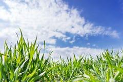 Ο επίπεδος τομέας του πράσινου σίτου, μεγάλωσε κάτω από το μπλε ουρανό Το καλλιεργήσιμο τοπικό LAN Στοκ Εικόνες