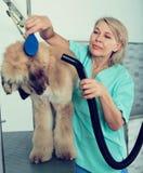 Ο επαγγελματίας κομμωτών ξεραίνει την τρίχα από το κυνηγόσκυλο γουνών σκυλιών βάλτων στοκ εικόνες
