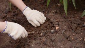 Ο επαγγελματικός κηπουρός γυναικών στα γάντια χαλαρώνει το χώμα με ένα ειδικό εργαλείο απόθεμα βίντεο