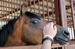 Ο επικεφαλής ενός καφετιού αλόγου αγγίζει το ανθρώπινο χέρι Στοκ φωτογραφία με δικαίωμα ελεύθερης χρήσης