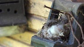 Ο επισημασμένος Flycatcher νεοσσός πουλιών κάθεται στη φωλιά με το σανό χνουδιού 4K απόθεμα βίντεο