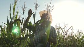 Ο επιχειρηματίας με την ταμπλέτα ελέγχει τους σπάδικες καλαμποκιού ένας γεωπόνος αγροτών που εργάζεται στον τομέα, επιθεωρεί τους απόθεμα βίντεο