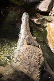 Ο λεπτός-σκαμμένος με τη μουσούδα κροκόδειλος, cataphractus Mecistops είναι ένας σπάνιος αφρικανικός κροκόδειλος Στοκ Εικόνες