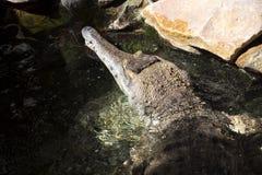 Ο λεπτός-σκαμμένος με τη μουσούδα κροκόδειλος, cataphractus Mecistops είναι ένας σπάνιος αφρικανικός κροκόδειλος Στοκ εικόνες με δικαίωμα ελεύθερης χρήσης