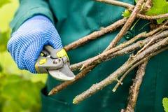 Ο εργαζόμενος είναι κλάδοι εγκαταστάσεων περικοπής, ο κηπουρός λεπταίνει τους κλάδους θάμνων κόκκινων σταφίδων Στοκ Εικόνα