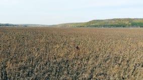 Ο εργαζόμενος ελέγχει τις ξηρές συγκομιδές σε ένα καλλιεργήσιμο έδαφος, περπατώντας μέσω των σειρών 4K απόθεμα βίντεο