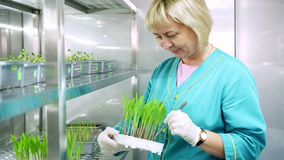 Ο εργαζόμενος εργαστηρίων αναθεωρεί τους νέους πράσινους νεαρούς βλαστούς ανάπτυξης στο χώμα, στα μικρά κιβώτια, στα ράφια της ει φιλμ μικρού μήκους