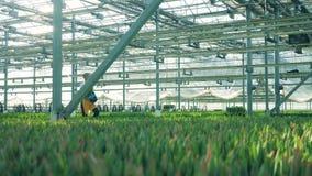 Ο εργαζόμενος θερμοκηπίων κρατά έναν κάδο με τις τουλίπες και περπατά κοντά στα κρεβάτια λουλουδιών απόθεμα βίντεο