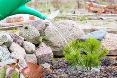 Ο εργαζόμενος κήπων ποτίζει το νέο πράσινο πεύκο Στοκ φωτογραφίες με δικαίωμα ελεύθερης χρήσης