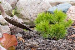 Ο εργαζόμενος κήπων φυτεύει ένα νέο πεύκο με την ενίσχυση του φτυαριού Στοκ εικόνα με δικαίωμα ελεύθερης χρήσης