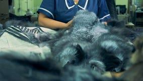 Ο εργαζόμενος κινεί τη νεκρή γούνα των ζώων σε ένα εργοστάσιο ιματισμού, κλείνει επάνω φιλμ μικρού μήκους