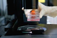 Ο ερευνητής χρησιμοποιεί το μικροσκόπιο με τη φιάλη κυτταροκαλλιέργειας για monolayers τα κύτταρα στο μέσο πολιτισμού για να κάνε στοκ φωτογραφίες με δικαίωμα ελεύθερης χρήσης