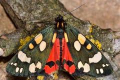 Ο ερυθρός σκώρος τιγρών (dominula Callimorpha) με τα φτερά ανοίγει και κόκκινα hindwings ορατά Στοκ φωτογραφία με δικαίωμα ελεύθερης χρήσης