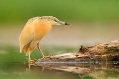 Ο ερωδιός Squacco, Ardeola ralloides, κίτρινο πουλί νερού στη φύση, ποτίζει την πράσινη χλόη στο υπόβαθρο, Ουγγαρία Στοκ Φωτογραφίες