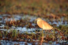 Ο ερωδιός Ardeola squacco ralloides που στέκεται σε ένα έλος Στοκ Φωτογραφίες