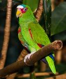 Ο λευκομέτωπος Αμαζόνιος Στοκ Φωτογραφίες