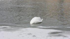 Ο λευκός Κύκνος βουτά κάτω από τον πάγο για τα τρόφιμα στον ποταμό το χειμώνα απόθεμα βίντεο