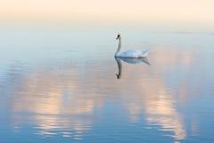 Ο λευκός Κύκνος και αντανάκλαση Στοκ Φωτογραφία