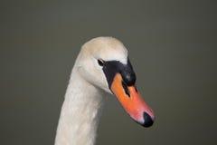 Ο λευκός Κύκνος Στοκ φωτογραφία με δικαίωμα ελεύθερης χρήσης