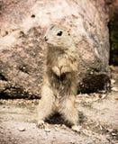 Ο ευρωπαϊκός επίγειος σκίουρος Στοκ φωτογραφία με δικαίωμα ελεύθερης χρήσης