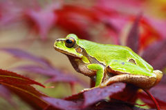 Ο ευρωπαϊκός πράσινος βάτραχος δέντρων βγάζει φύλλα επάνω Στοκ Φωτογραφίες