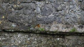 Ο ευρωπαϊκός Robin με ένα γκρίζο υπόβαθρο Στοκ εικόνα με δικαίωμα ελεύθερης χρήσης
