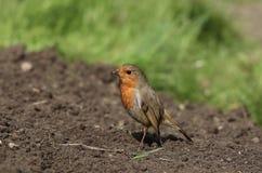 Ο ευρωπαϊκός Robin στοκ φωτογραφίες με δικαίωμα ελεύθερης χρήσης